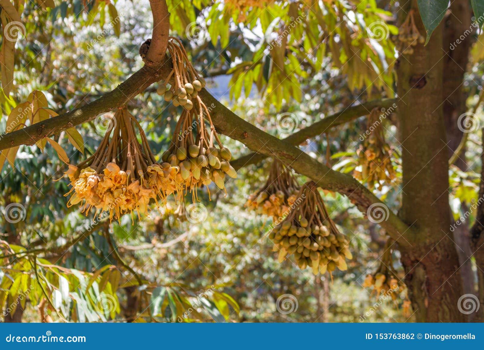 Pequeño crecimiento de frutas del mango