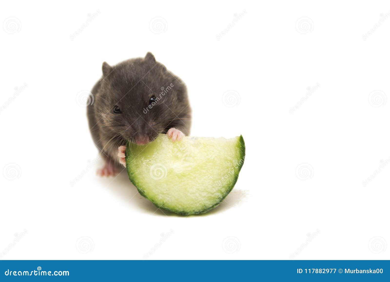 Pequeño hámster sirio negro que come el pepino
