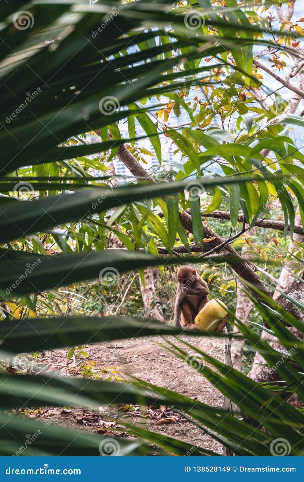 Pequeño mono con el coco amarillo que se sienta en bosque verde de la palma