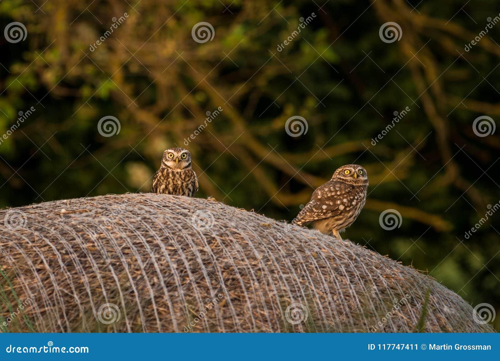 Pequeño Owl Athene noctua de dos que se sienta en un pajar