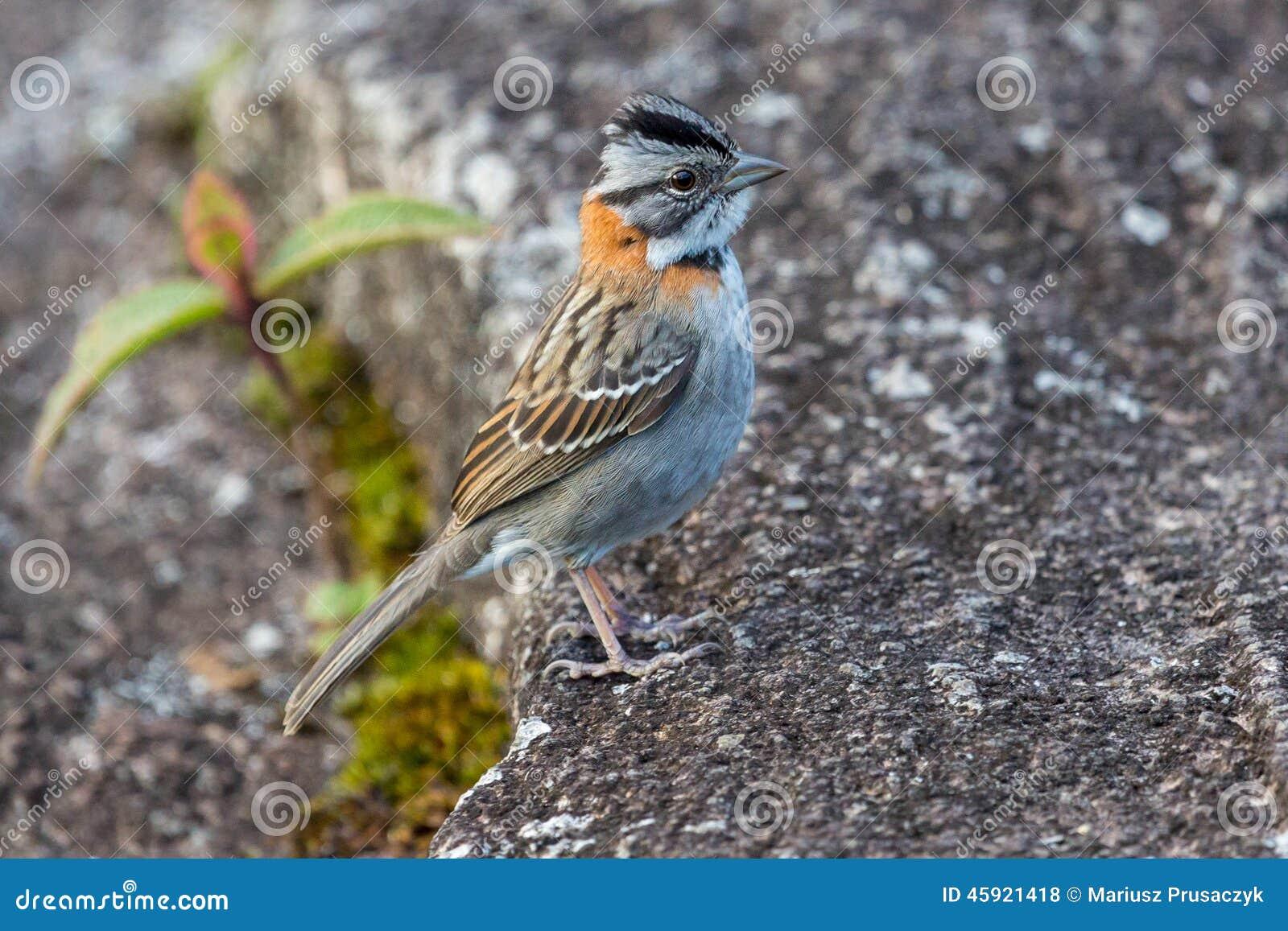Pequeño pájaro en la meseta del tepui de Roraima - Venezuela, Suramérica