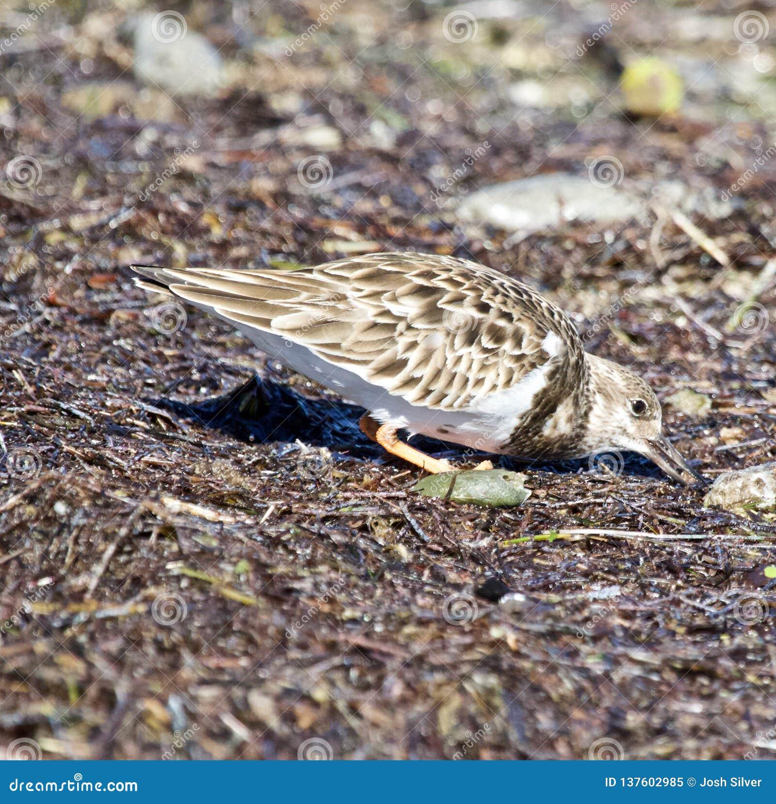 Pequeño pájaro marrón