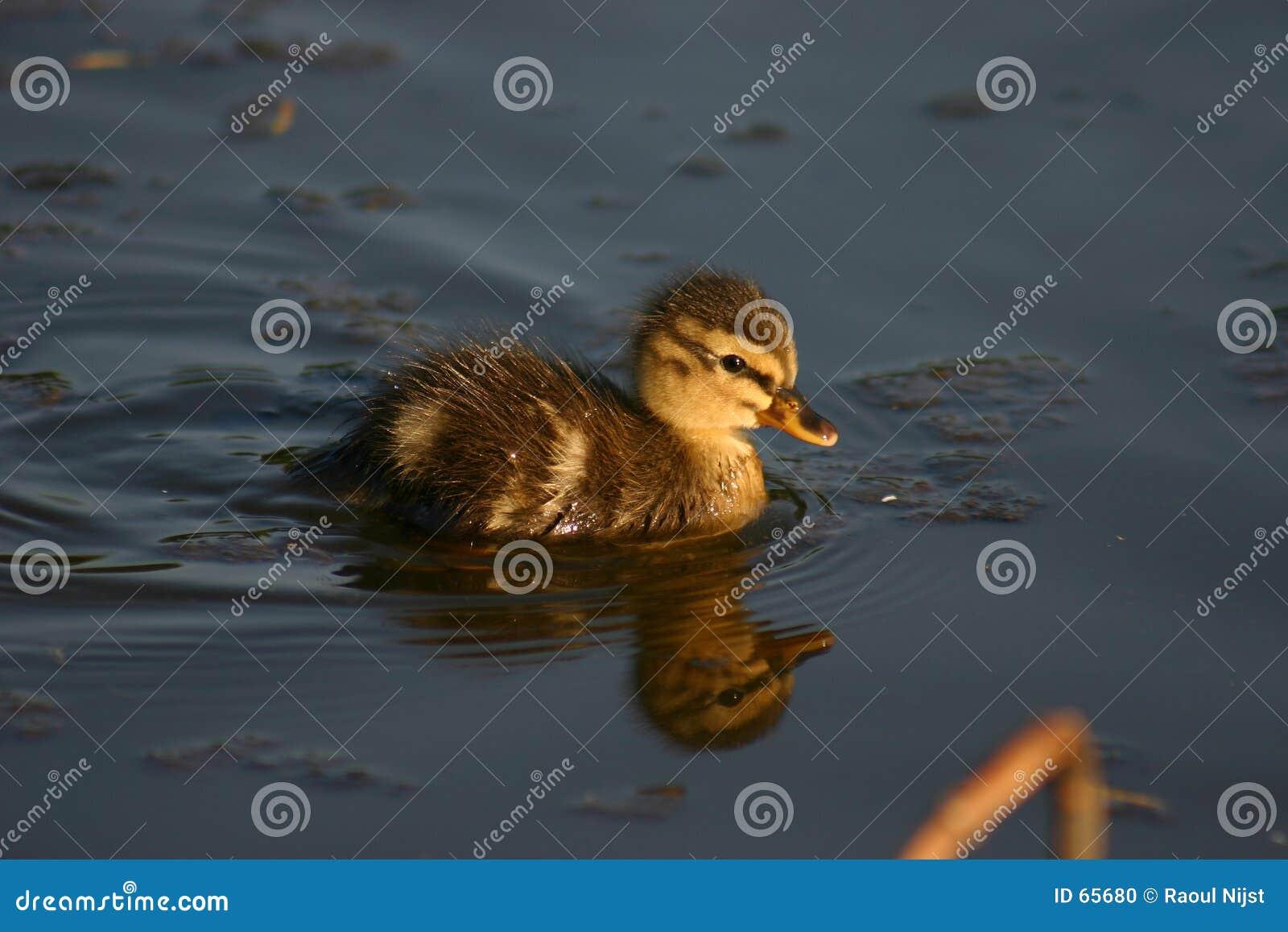 Pequeño pato de Woudrichem