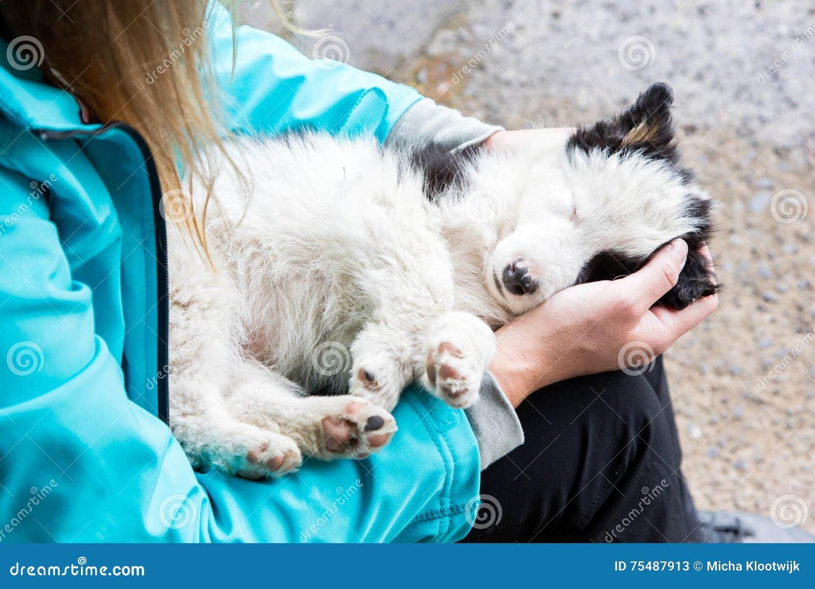 Pequeño perrito del border collie en los brazos de una mujer