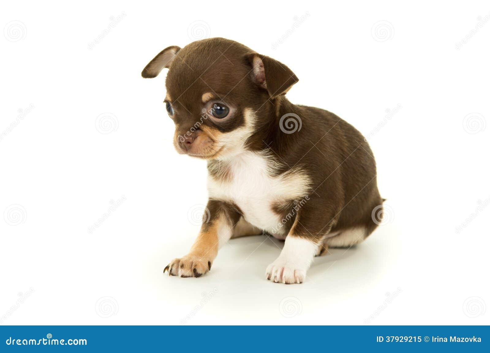 Pequeño perrito hermoso de la chihuahua