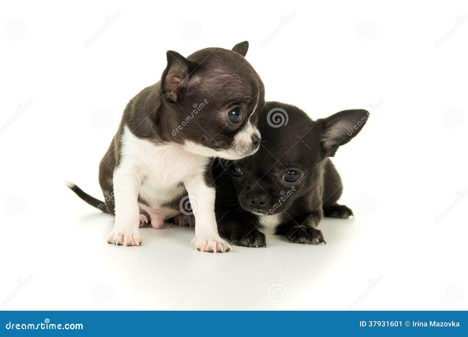 Pequeño perrito hermoso dos