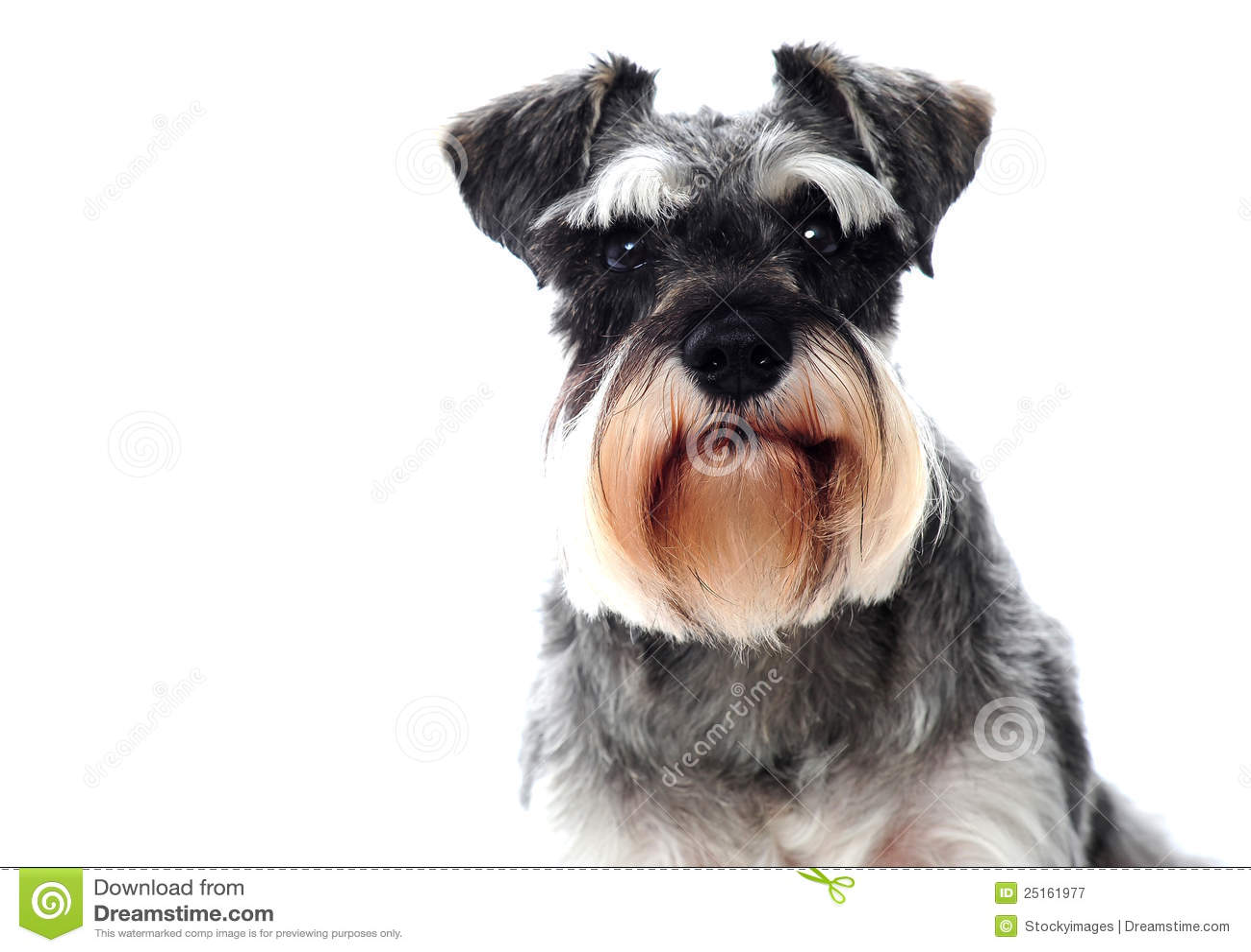 Pequeño perro blanco y negro del schnauzer miniatura