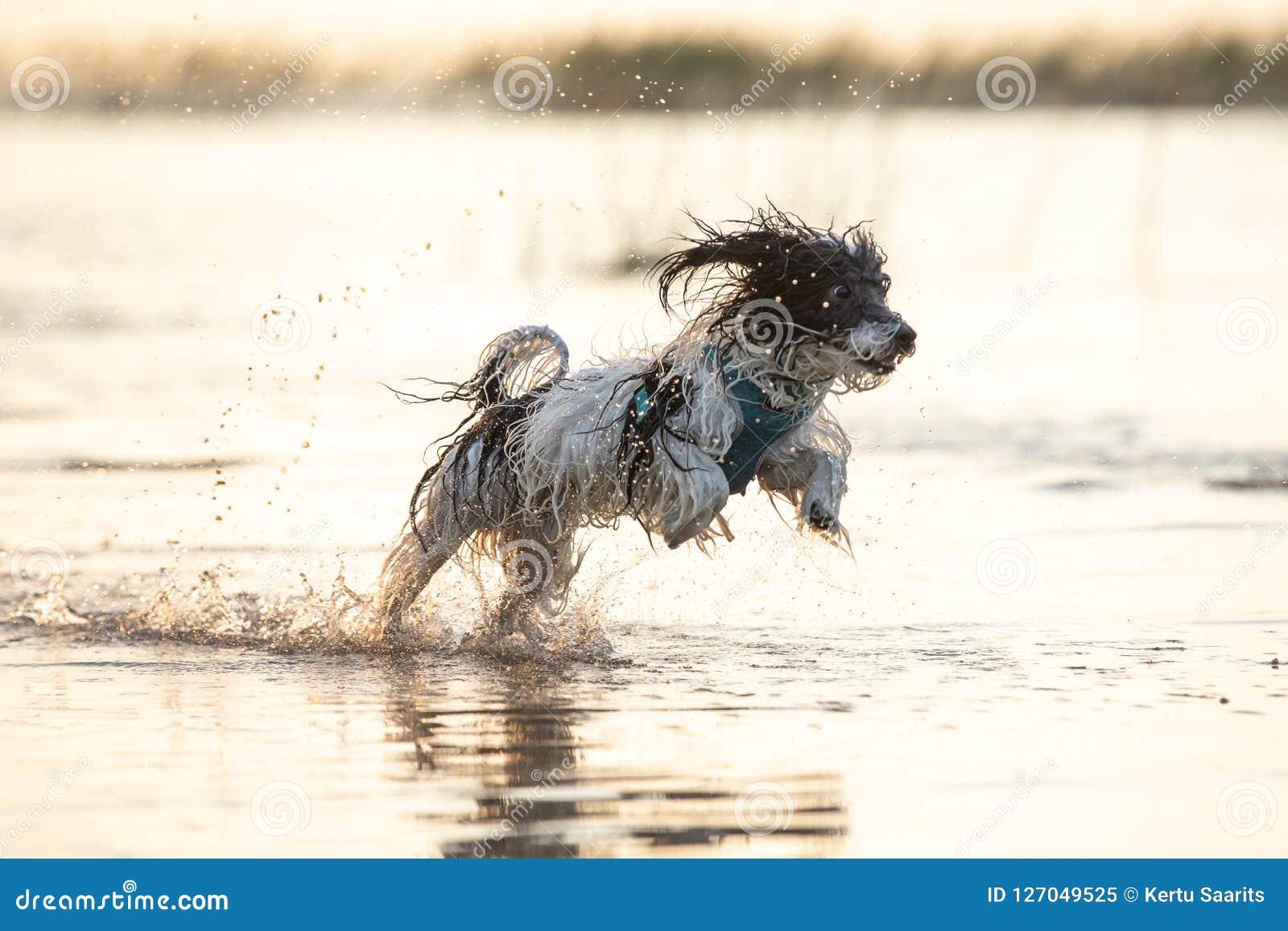 Pequeño perro blanco y negro que corre alrededor en aguas poco profundas