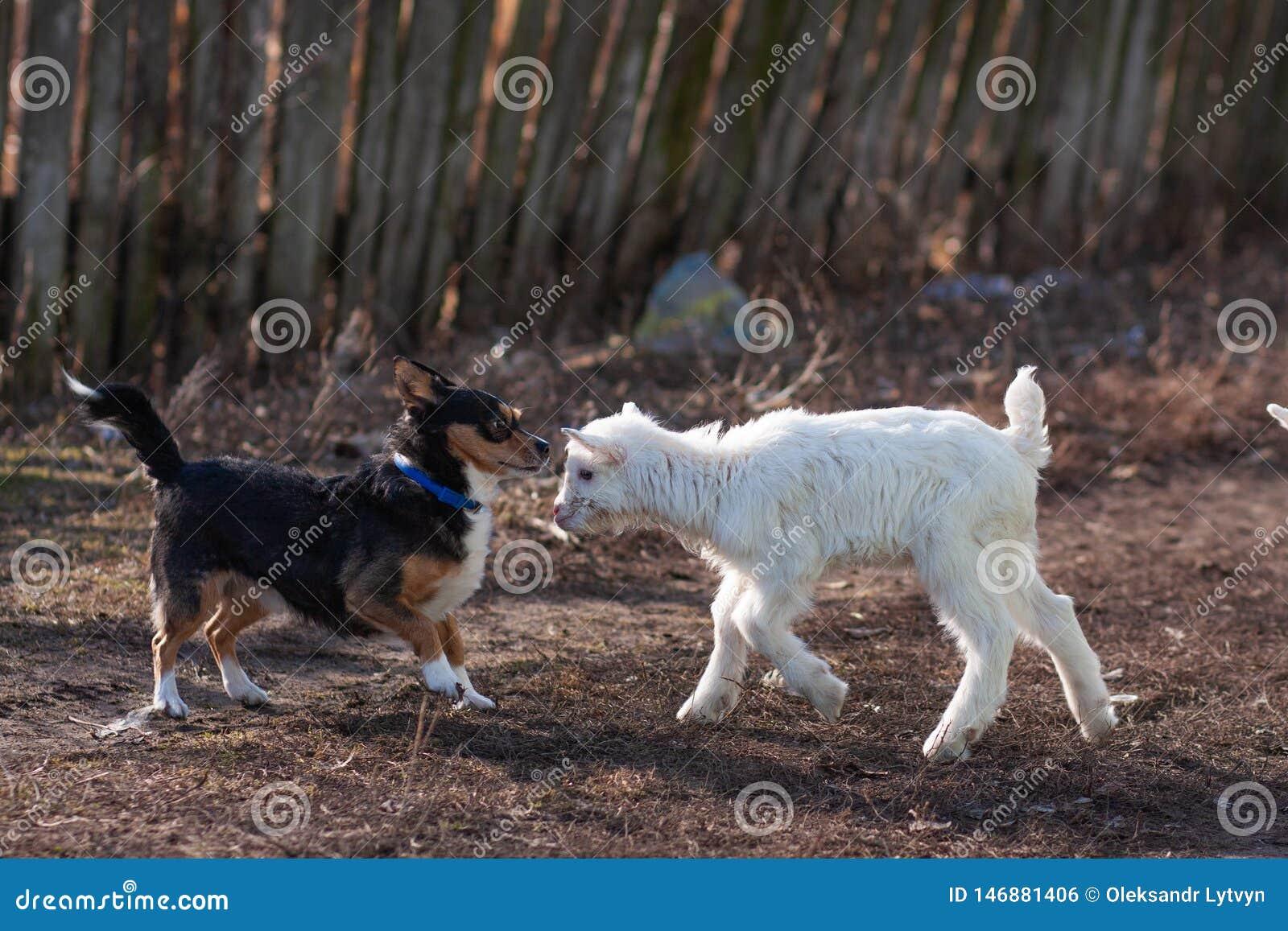 Pequeño perro negro goatling agradable blanco del juego