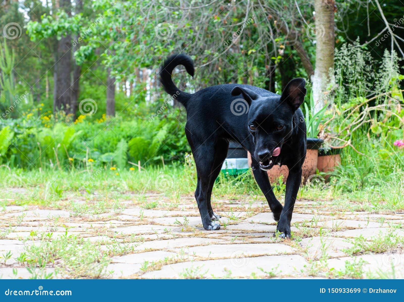 Pequeño perro negro, pareciendo una raza del pincher, mirando a la cámara y malévolo lamiéndose