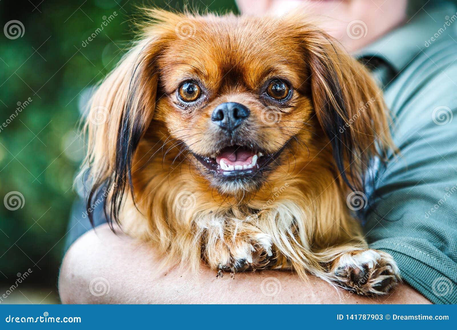 Pequeño perro pekingese marrón