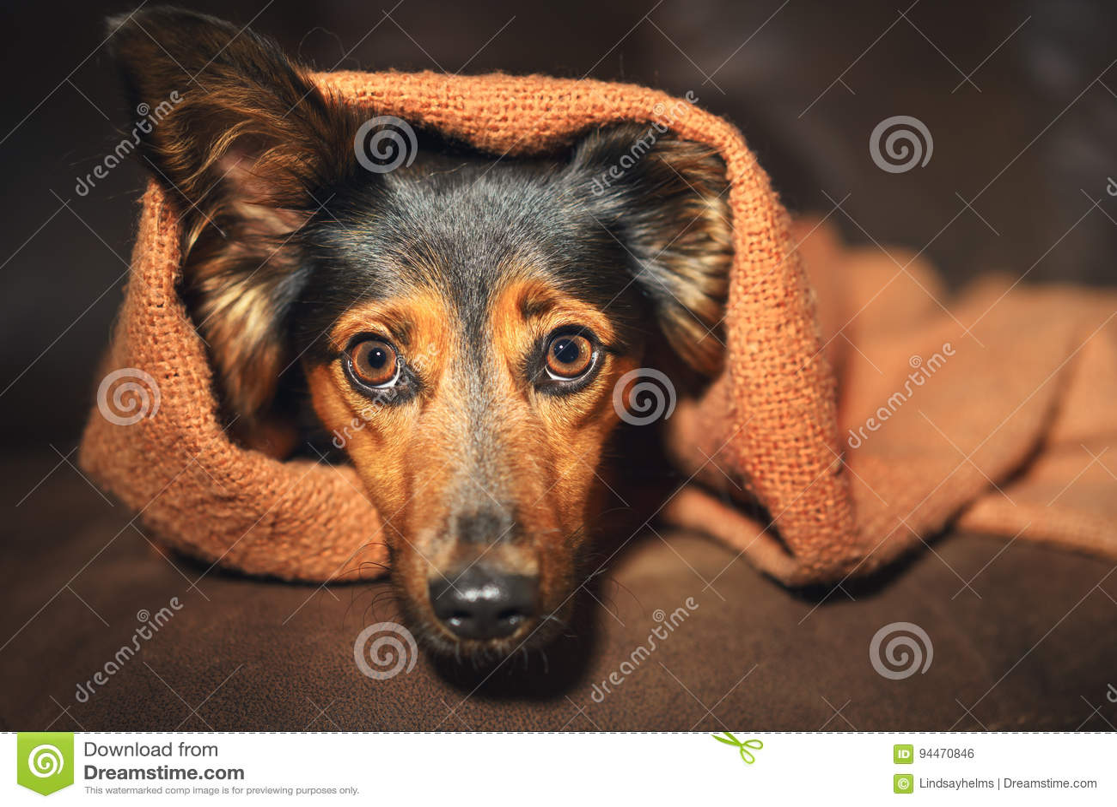 Pequeño perro que oculta debajo de la manta