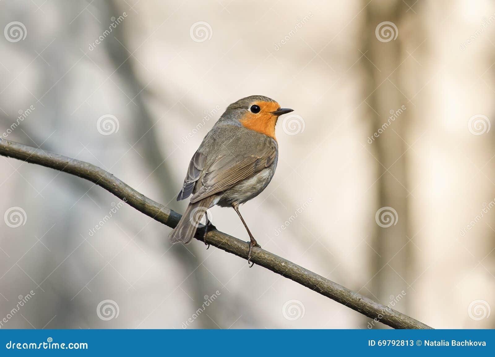 Pequeño petirrojo del pájaro en parque de la primavera