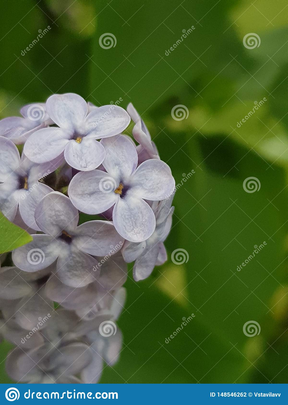 Pequeño ramo hermoso de lila violeta