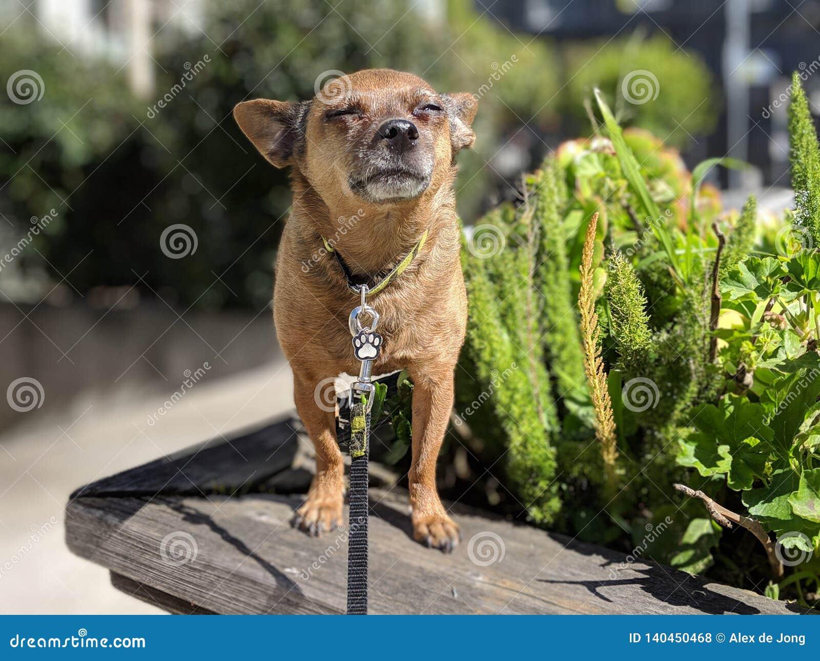 Pequeño sol feliz del perro que toma el sol en la caja de la flor con con las plantas y la acera borrosas en el fondo