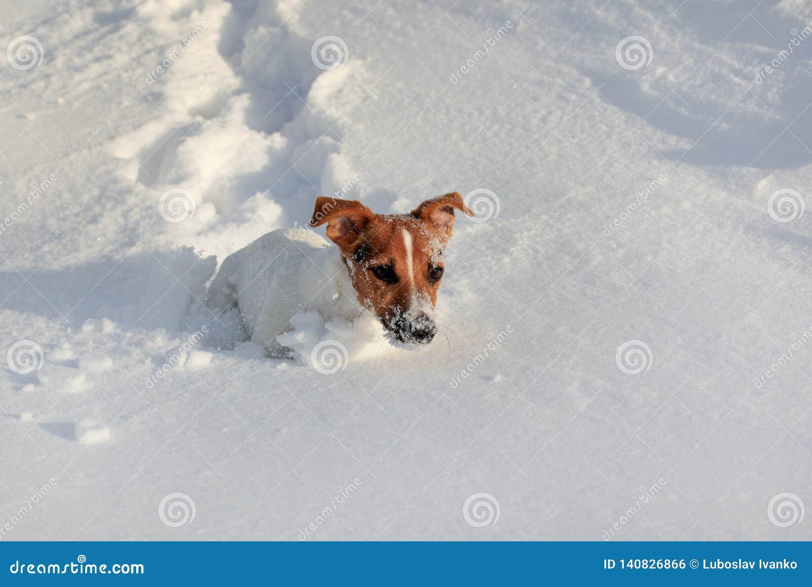 Pequeño terrier que corre en nieve profunda, su blanco de Jack Russell de la cara de cristales de hielo
