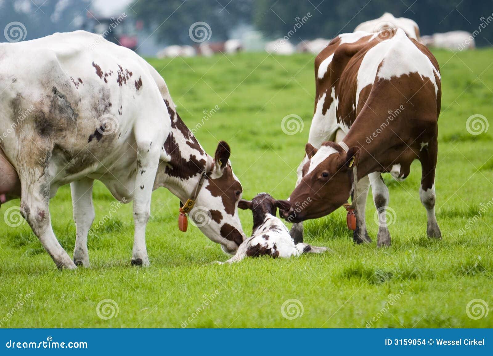 Pequeño toro recién nacido (2)