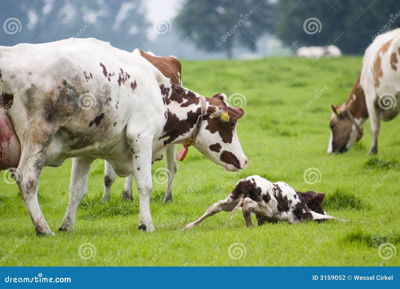 Pequeño toro recién nacido