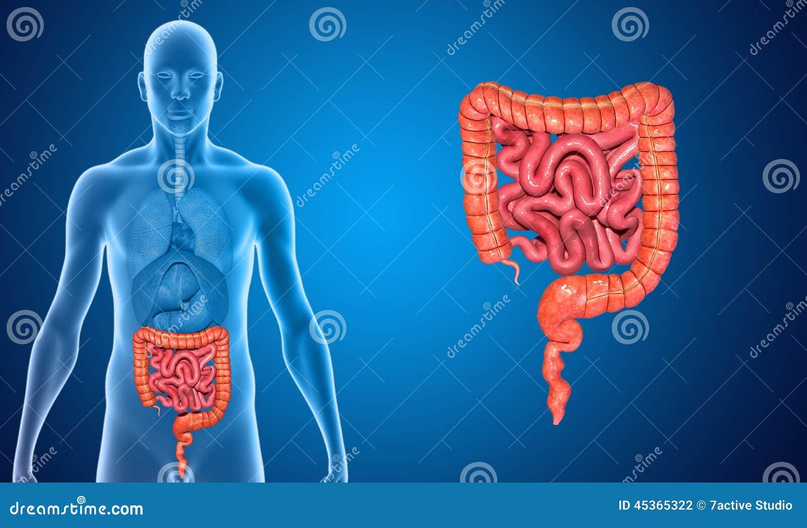 Pequeño y intestino grueso stock de ilustración. Ilustración de ...