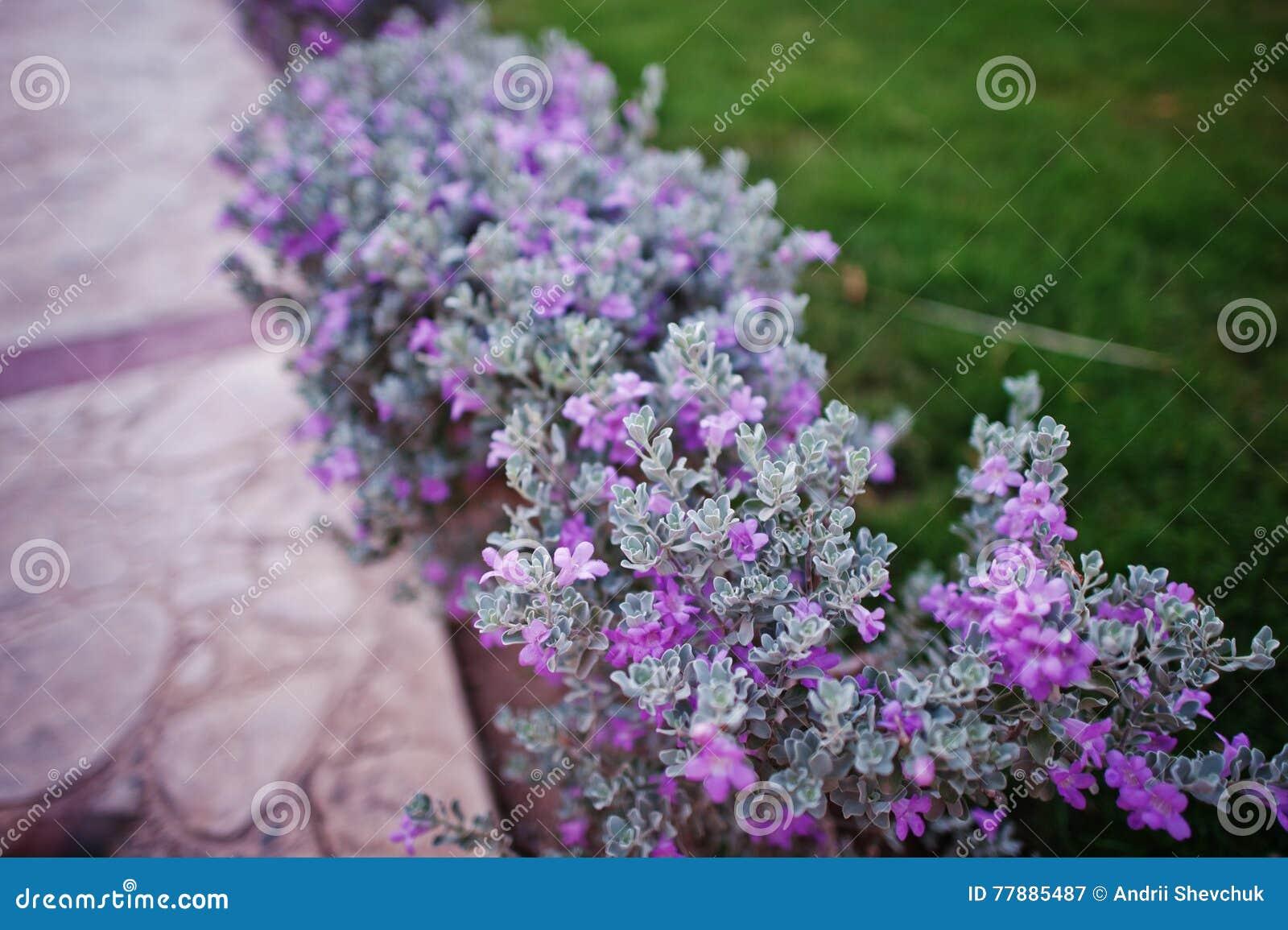 Peque os arbustos con las flores violetas en hierba imagen - Arbusto pequeno con flores ...
