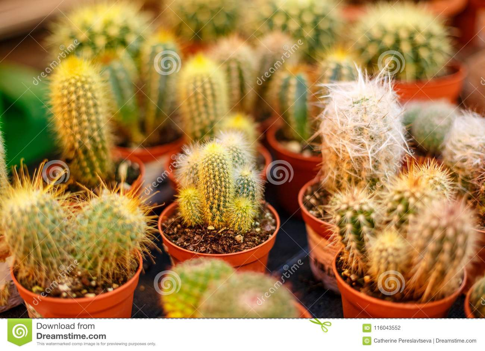 Pequeños cactus lanudos en potes