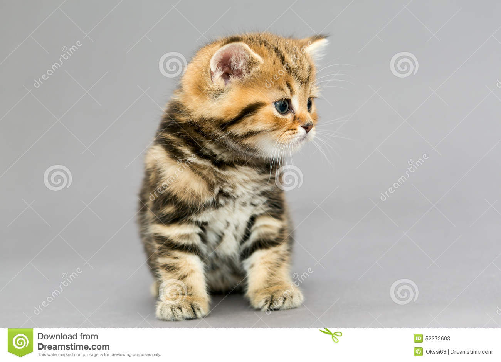 Pequeños Colores Británicos Del Mármol Del Gatito Del Gato Atigrado ...