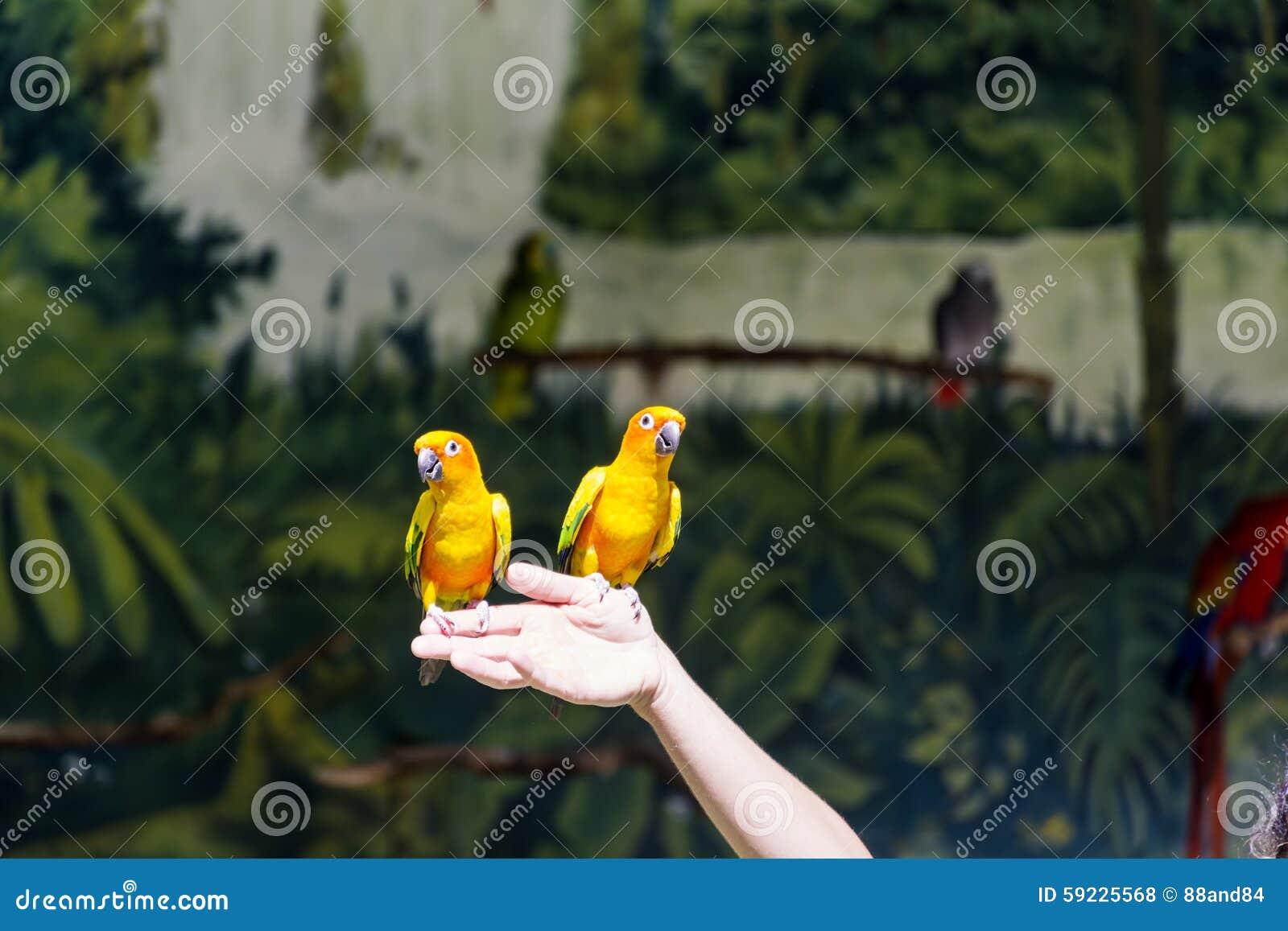 Download Pequeños Loros Amarillos Que Participan En El Programa De La Demostración Foto de archivo - Imagen de ramificación, cuenta: 59225568