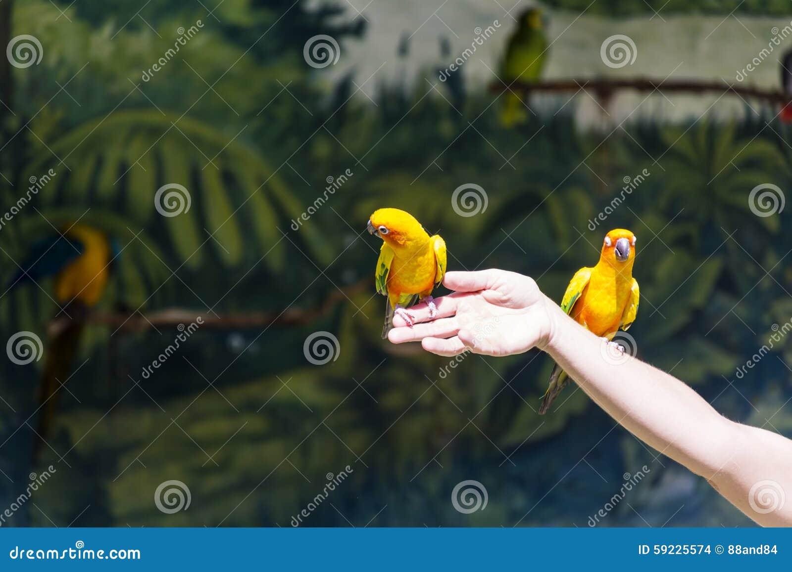 Download Pequeños Loros Amarillos Que Participan En El Programa De La Demostración Foto de archivo - Imagen de cubo, multicolor: 59225574