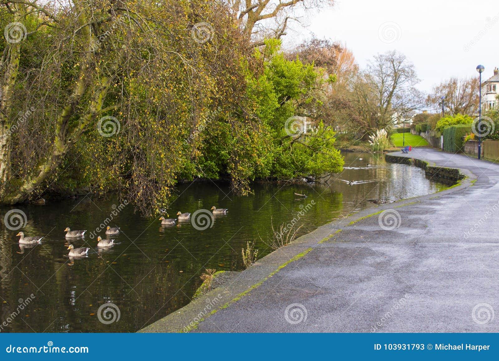 Pequeños patos que nadan en el río que atraviesa a Ward Park en el condado de Bangor abajo en Irlanda del Norte