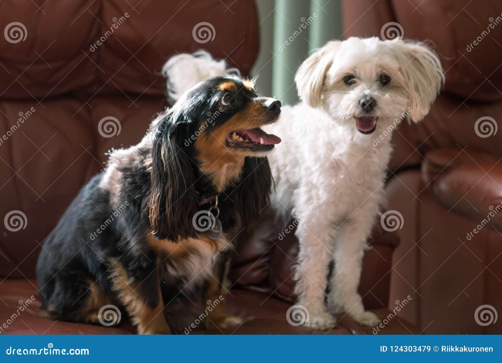Pequeños perros lindos en un sofá con las caras felices
