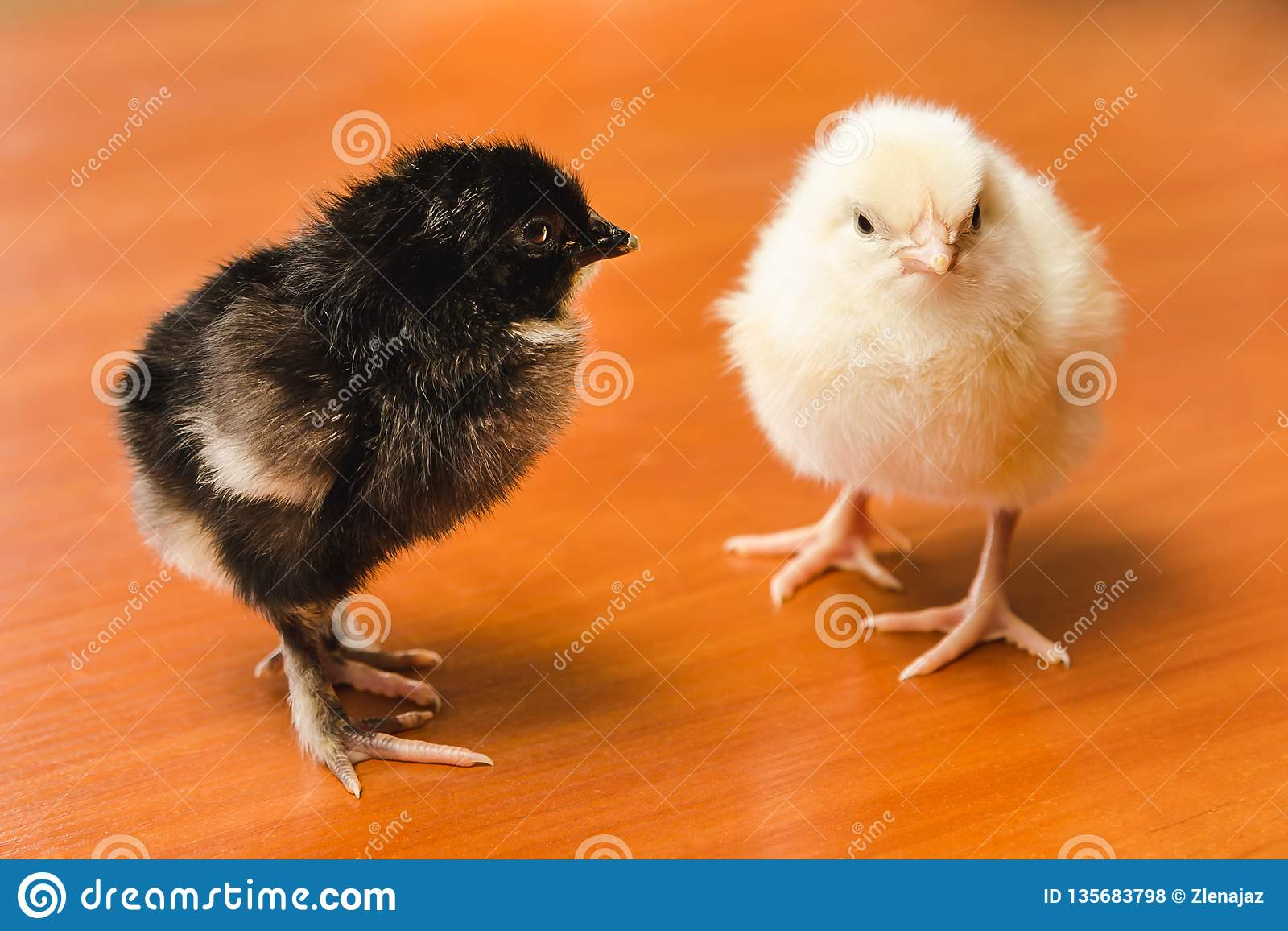 Pequeños pollos blancos y negros en una superficie de madera