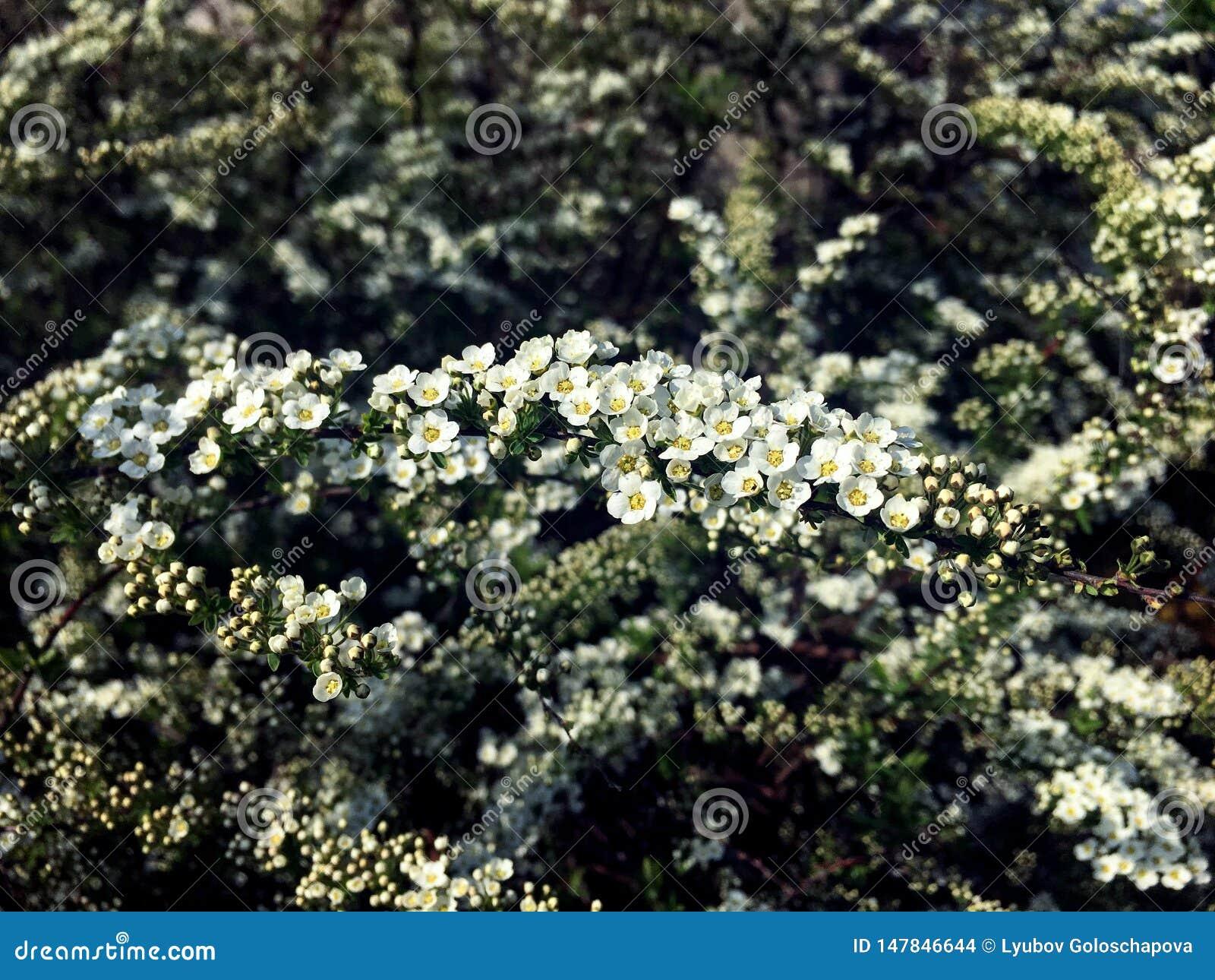 Peque?as flores en una rama del spirea