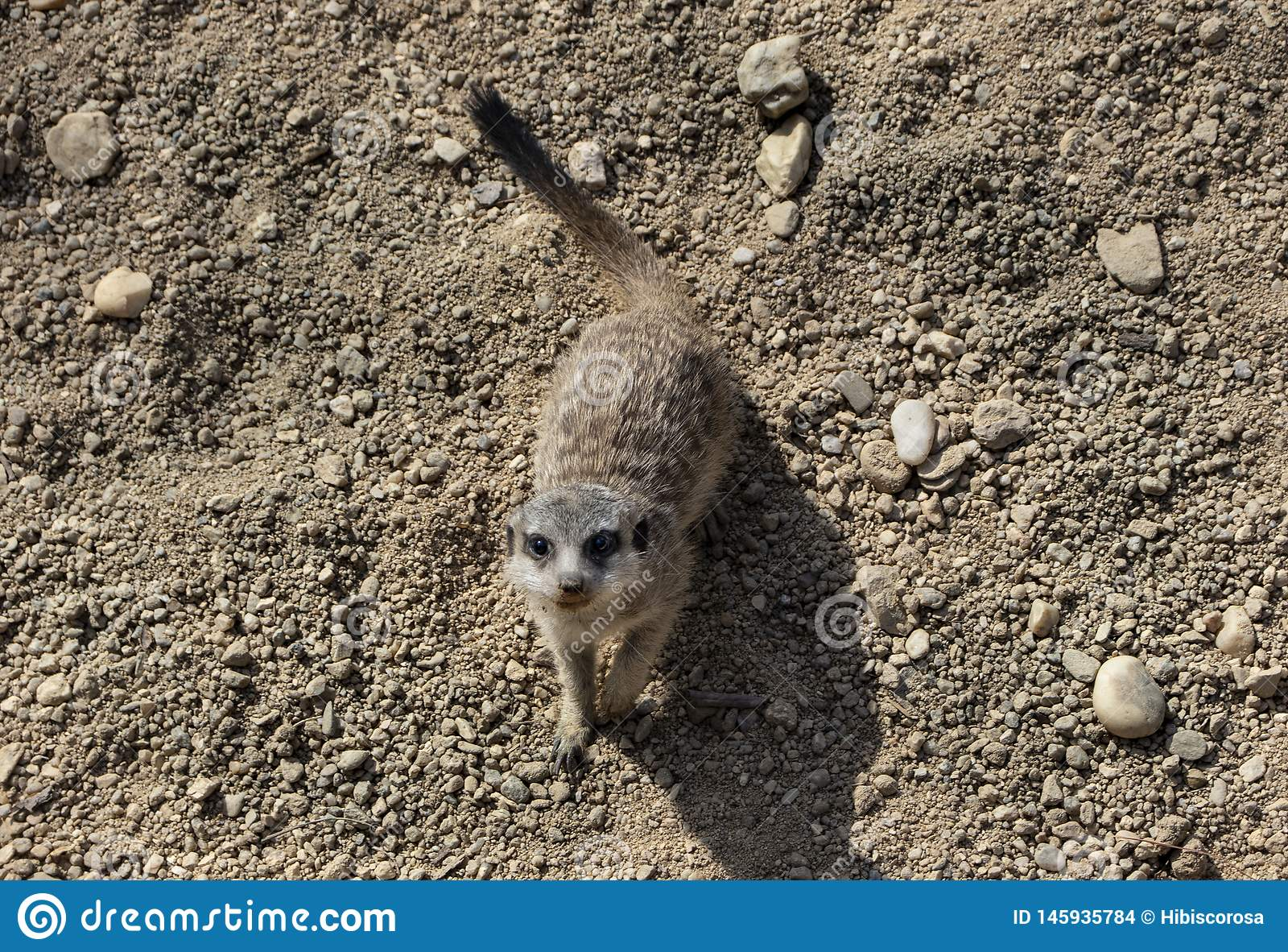Peque?o meerkat lindo en parque zool?gico