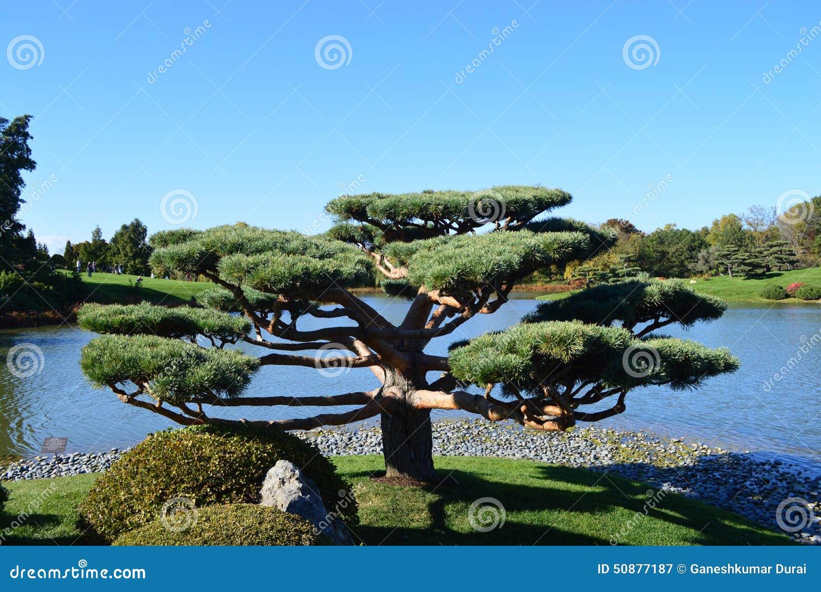 Peque os rboles japoneses foto de archivo imagen for Arboles jardin japones