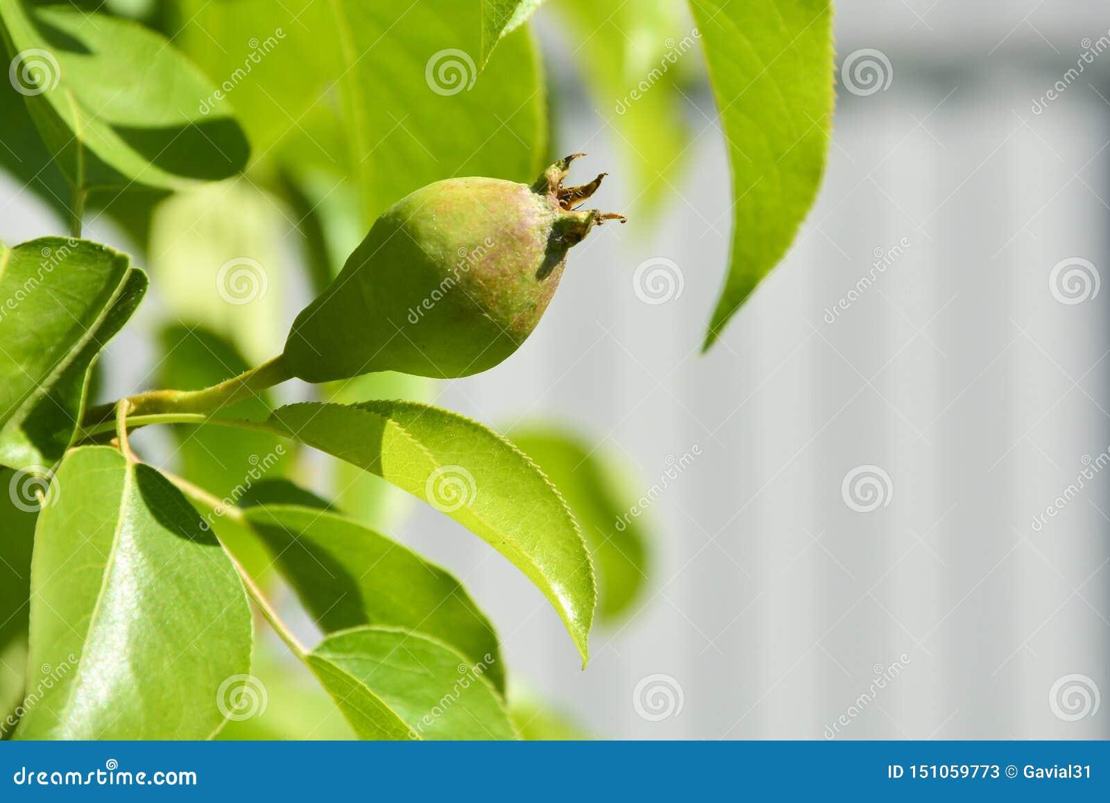 Pera joven Peras jovenes del papel pintado del jardín en una rama con las hojas verdes y el fondo borroso