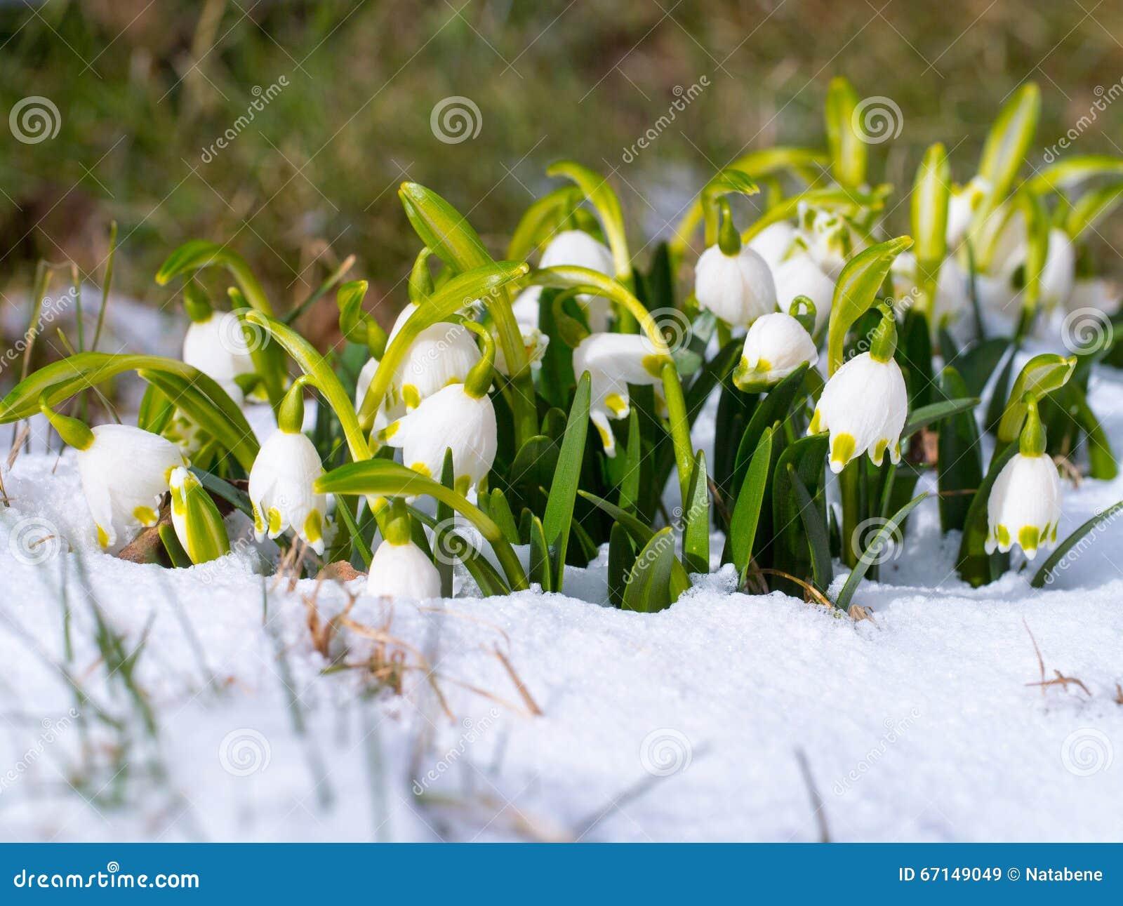Perce Neige Avec La Fleur Renaissance De Fleur De Ressort Sur La