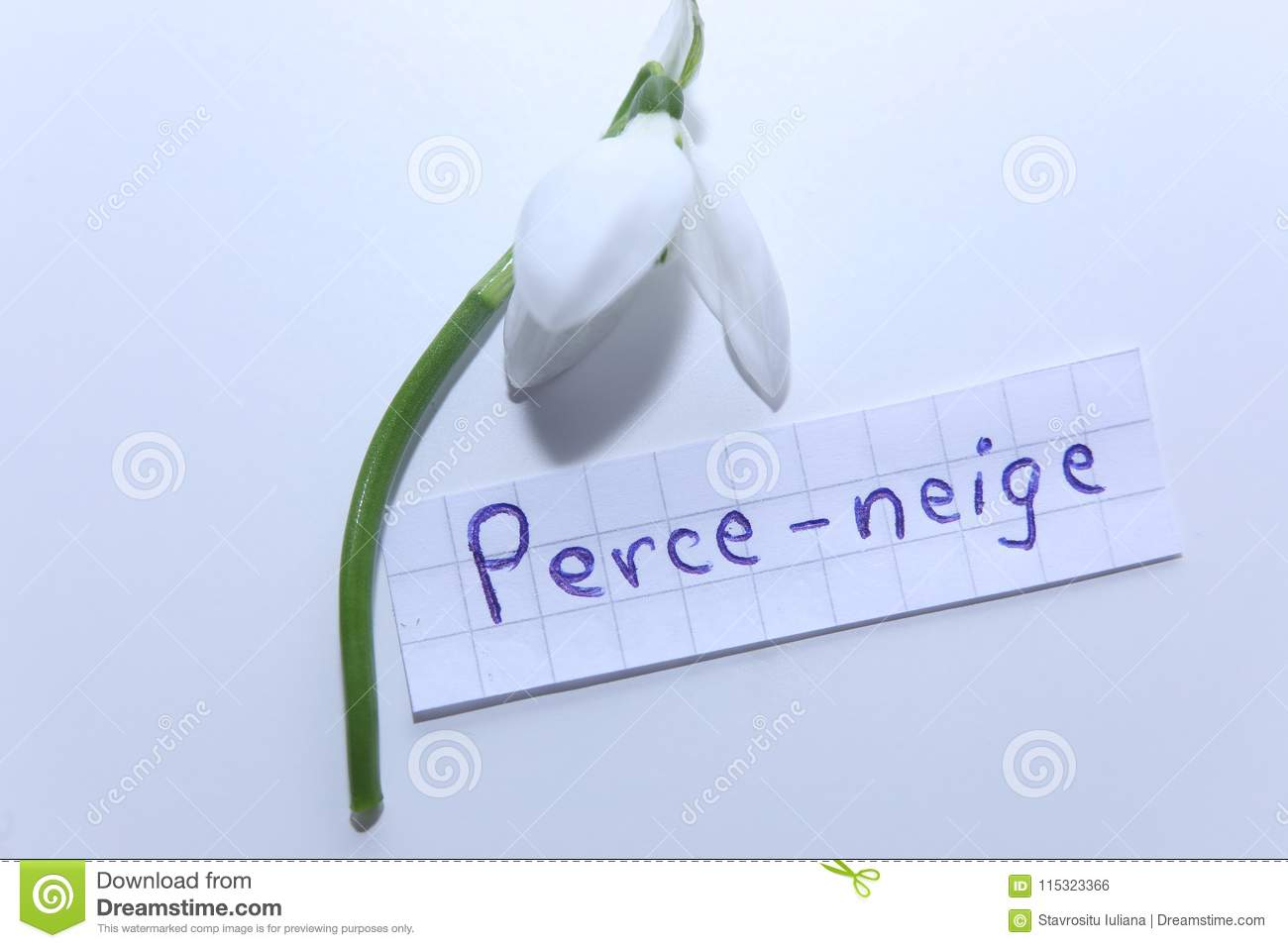 Perce Neige French Word For English Snowdrop Stock Photo Image Of Languages English 115323366