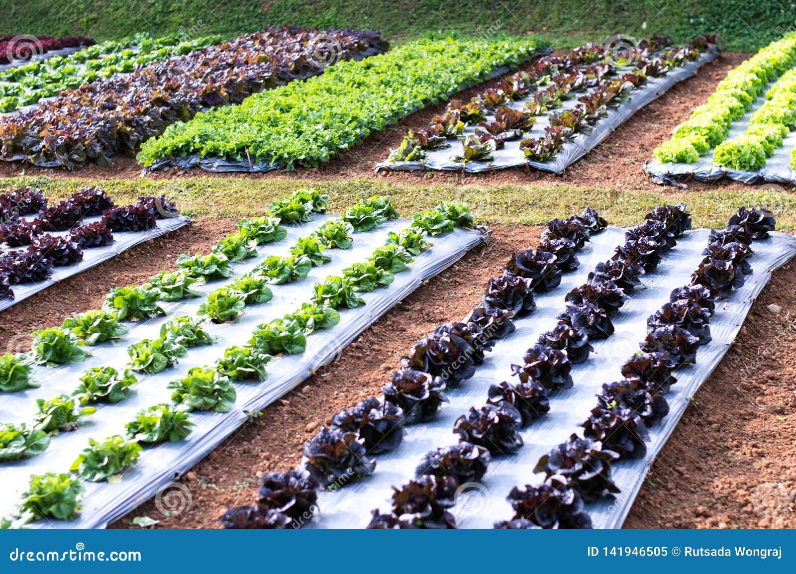 Percelen van groenten, groene salades en rode salades