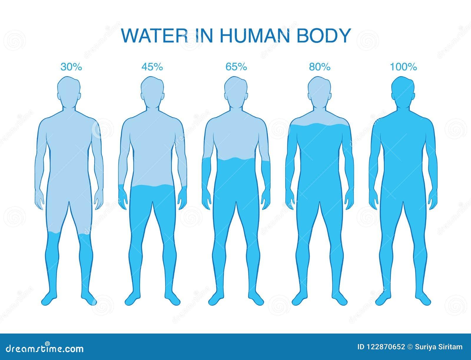 Percentuale Di Differenza Di Acqua Nel Corpo Umano Illustrazione