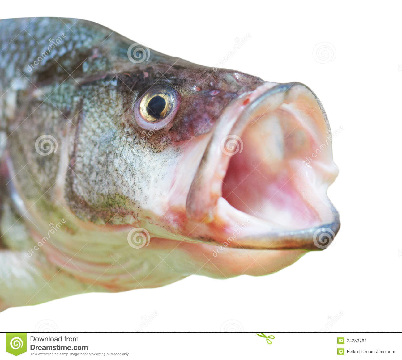 perch fish with open mouth stock image image 24253761