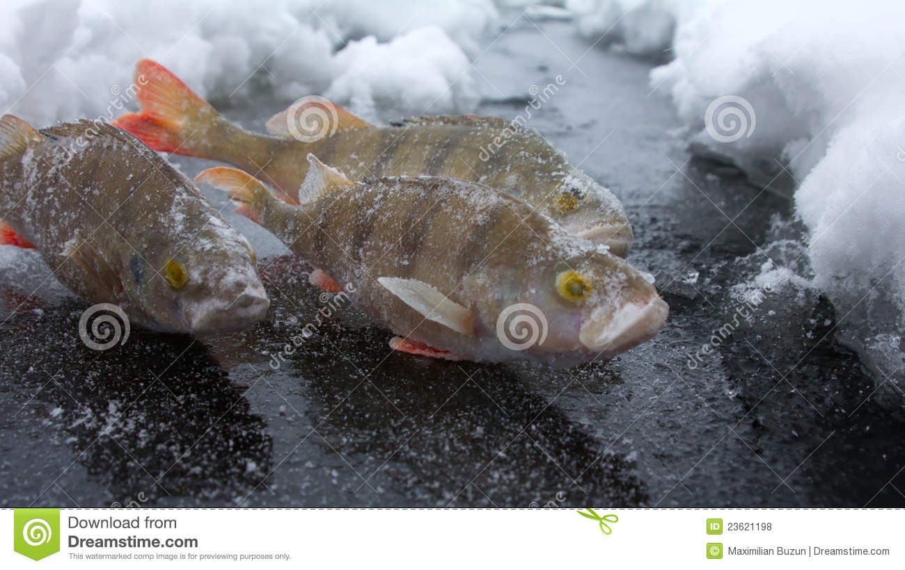 On a perch fishing royalty free stock photos image 23621198 for Ice fishing for perch
