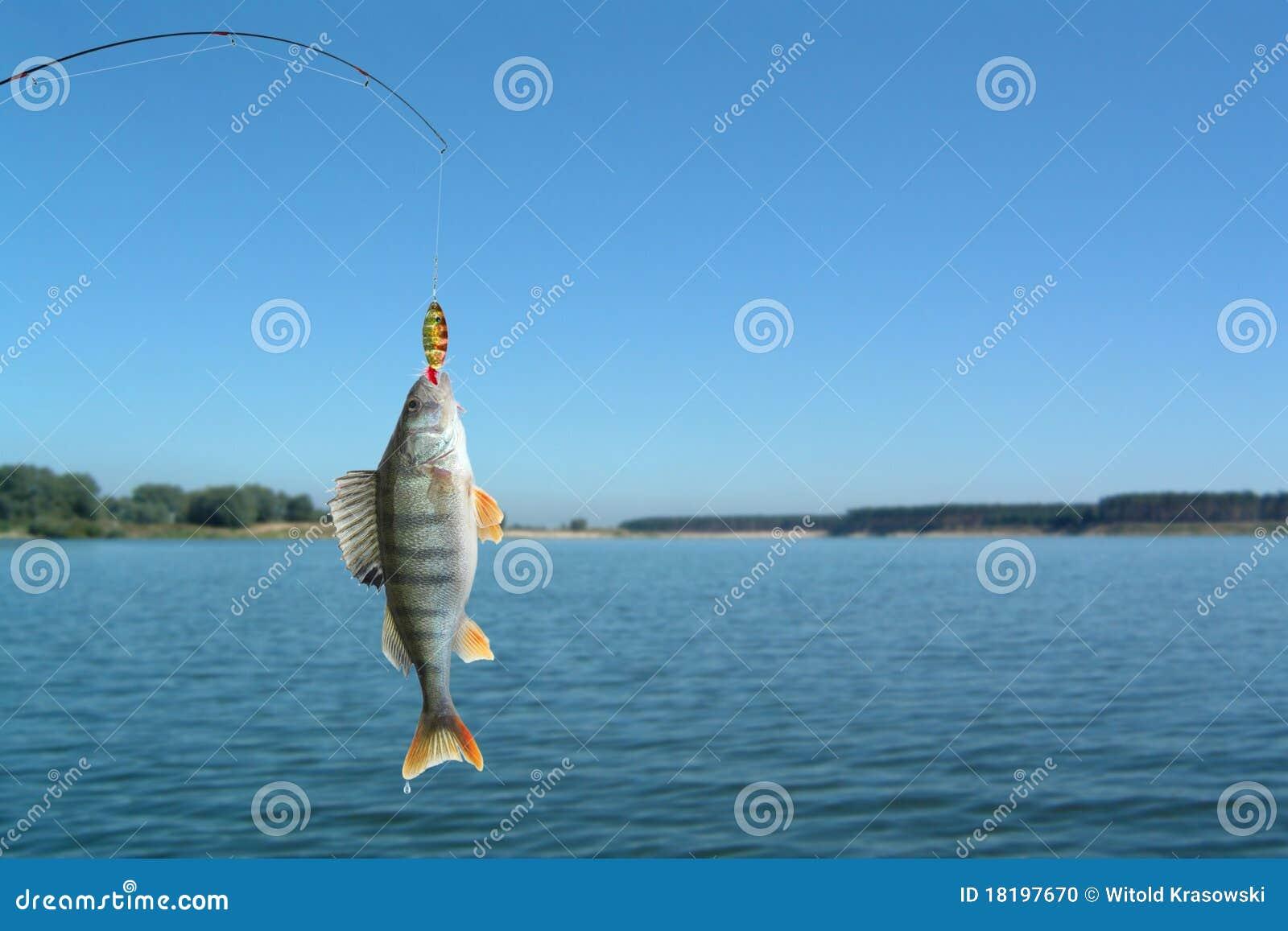 Perch on fishing-rod
