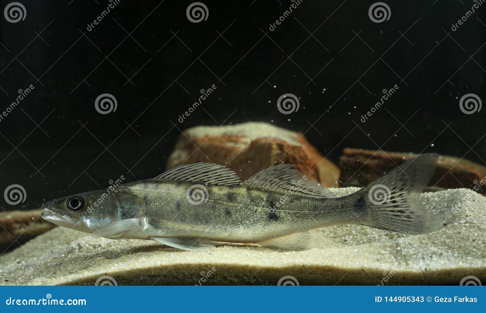 Perch freshwater gamefish Stizostedion lucioperca