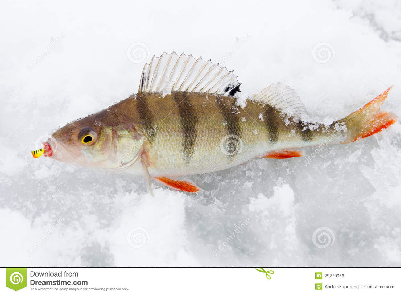 Perch on ice royalty free stock image image 29279966 for Ice fishing perch lures