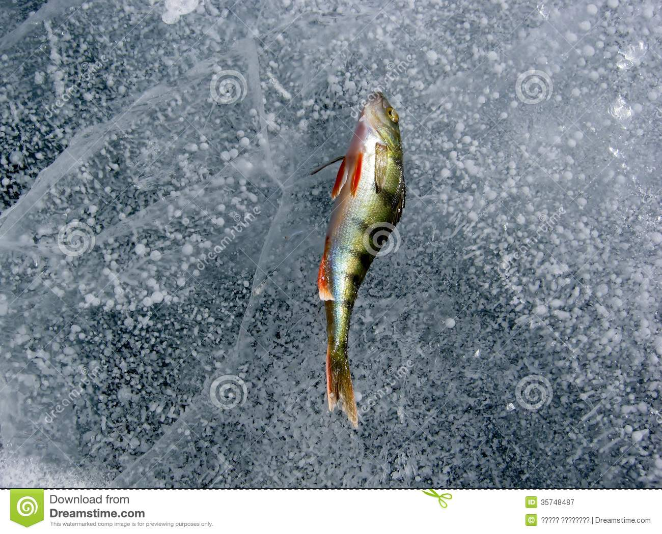 Perch on the ice royalty free stock photography image for Ice fishing for perch