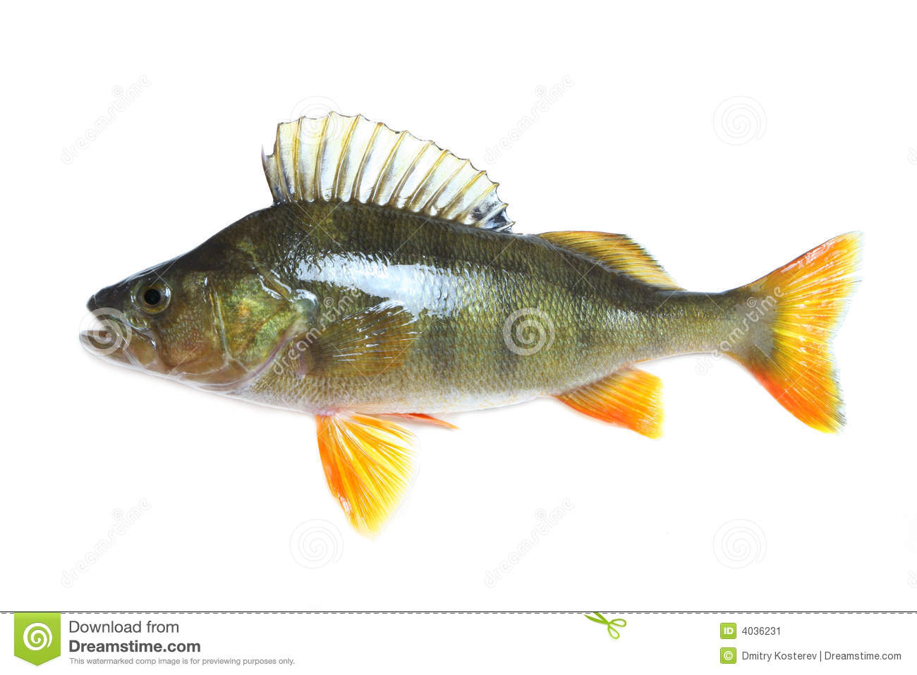 Perch isolated stock image image of healthy season fish for Sun perch fish