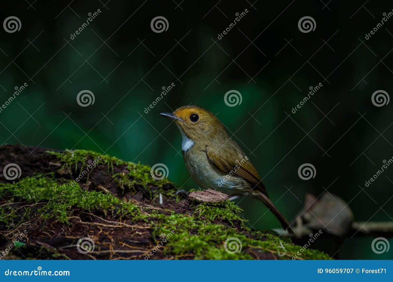 Perche Rufous-browed de FLYCATCHER sur la branche