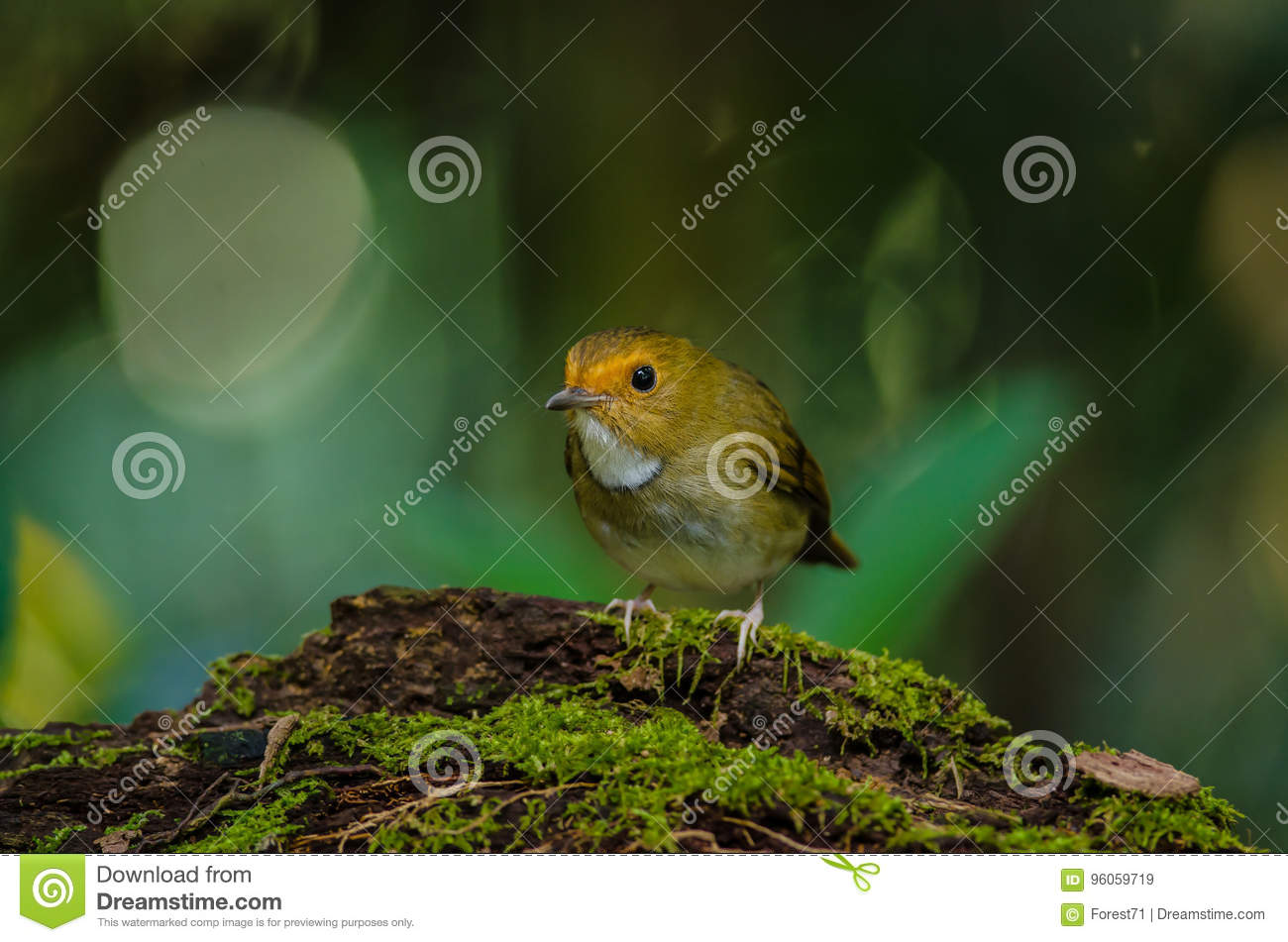 Perche Rufous-browed de FLYCATCHER sur la branche