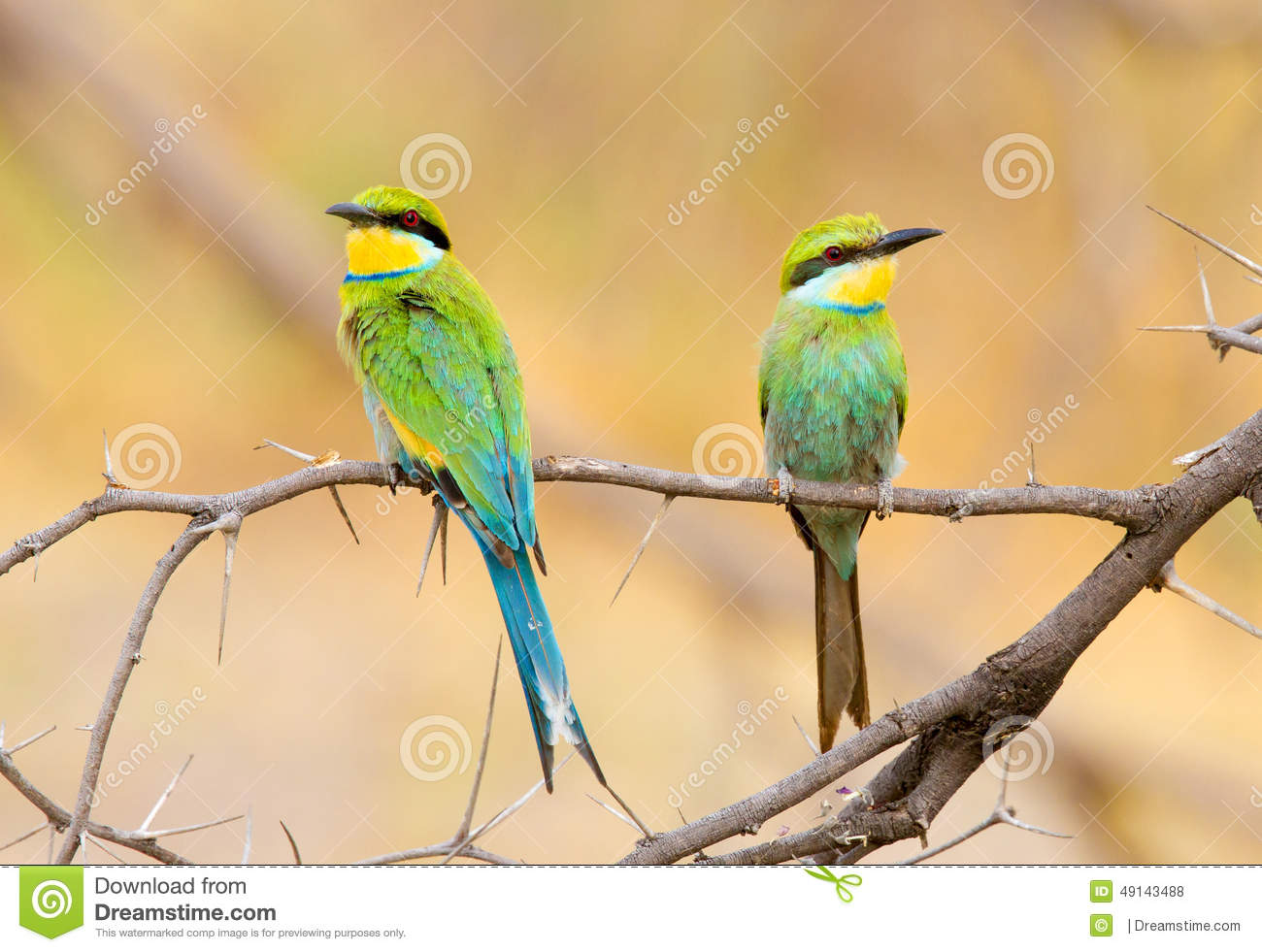 A perched pair of Swallow-tailed bee-eaters