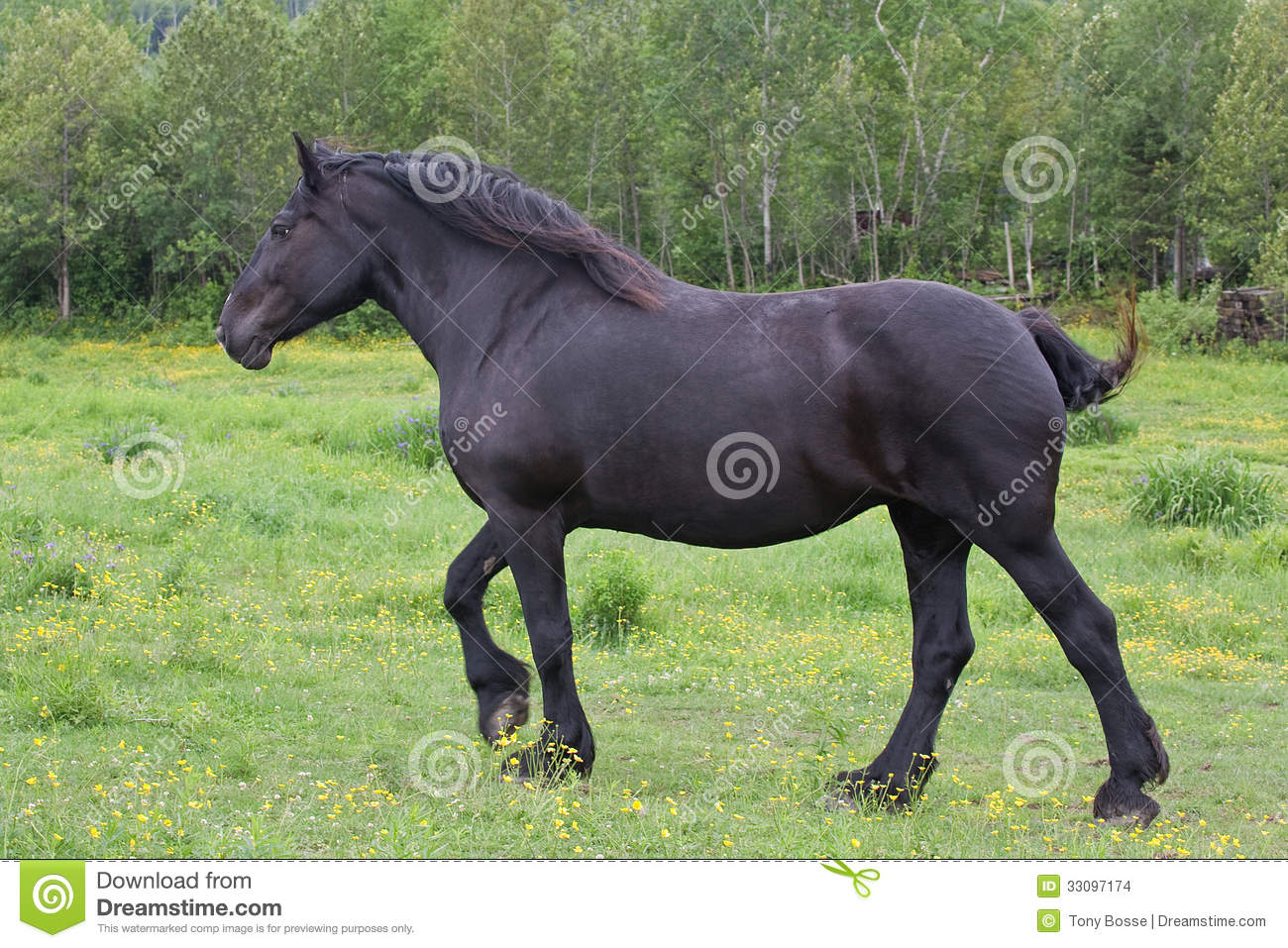 Galloping Percheron Draft Horse Stock Photo Image Of Mane Mare 33097174